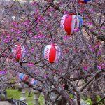 沖縄の花見は1月下旬から! 県内各地で桜まつりスタート